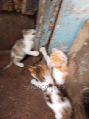 6-12 Month Male Mixed Breed Other   Cats & Kittens for sale in Oyo State, Ibadan