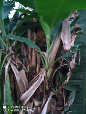 Cavendish Banana Suckers | Feeds, Supplements & Seeds for sale in Enugu State, Enugu
