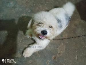 1+ Year Male Purebred Lhasa Apso   Dogs & Puppies for sale in Lagos State, Abule Egba