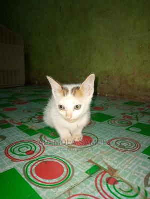 1-3 Month Female Mixed Breed American Wirehair | Cats & Kittens for sale in Ogun State, Ado-Odo/Ota