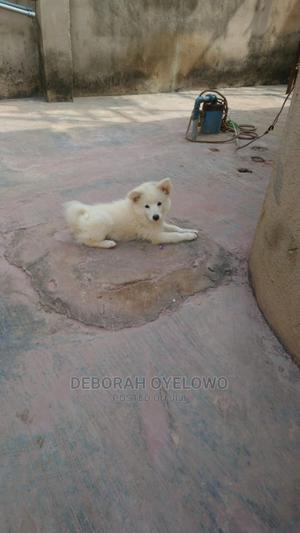 3-6 Month Male Purebred American Eskimo | Dogs & Puppies for sale in Lagos State, Ikorodu