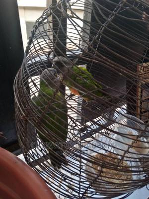 Parrots For Sale | Birds for sale in Ogun State, Ado-Odo/Ota