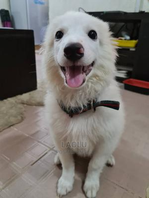 3-6 Month Male Purebred American Eskimo | Dogs & Puppies for sale in Lagos State, Gbagada