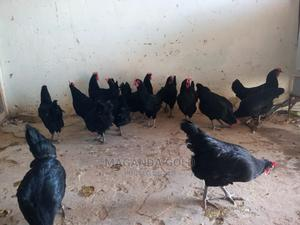 Chicken for Sale | Livestock & Poultry for sale in Imo State, Orlu