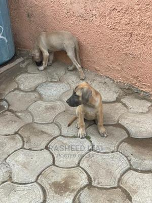 1-3 Month Female Purebred Boerboel   Dogs & Puppies for sale in Abuja (FCT) State, Lugbe District