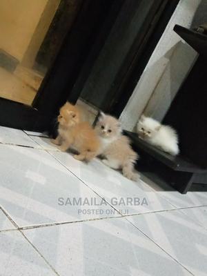1-3 Month Male Purebred Persian | Cats & Kittens for sale in Kaduna State, Kaduna / Kaduna State