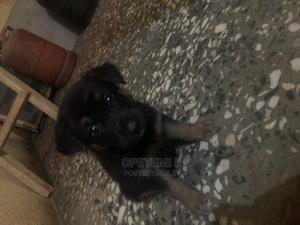 0-1 Month Female Purebred German Shepherd | Dogs & Puppies for sale in Lagos State, Abule Egba