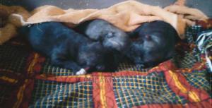 0-1 Month Female Purebred Caucasian Shepherd | Dogs & Puppies for sale in Nasarawa State, Karu-Nasarawa
