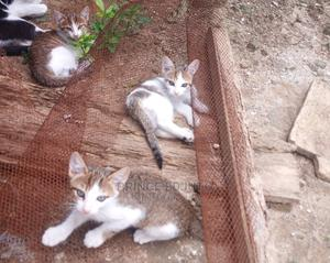 1-3 Month Female Mixed Breed Cat | Cats & Kittens for sale in Rivers State, Port-Harcourt