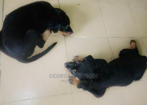 1-3 Month Male Purebred Rottweiler   Dogs & Puppies for sale in Oyo State, Ibadan
