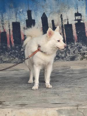 1+ Year Male Purebred American Eskimo | Dogs & Puppies for sale in Lagos State, Ajah