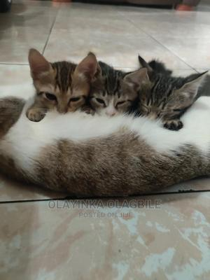1-3 Month Female Mixed Breed Cat   Cats & Kittens for sale in Lagos State, Ojodu