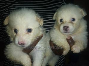 1-3 Month Male Purebred American Eskimo | Dogs & Puppies for sale in Abuja (FCT) State, Gwagwalada