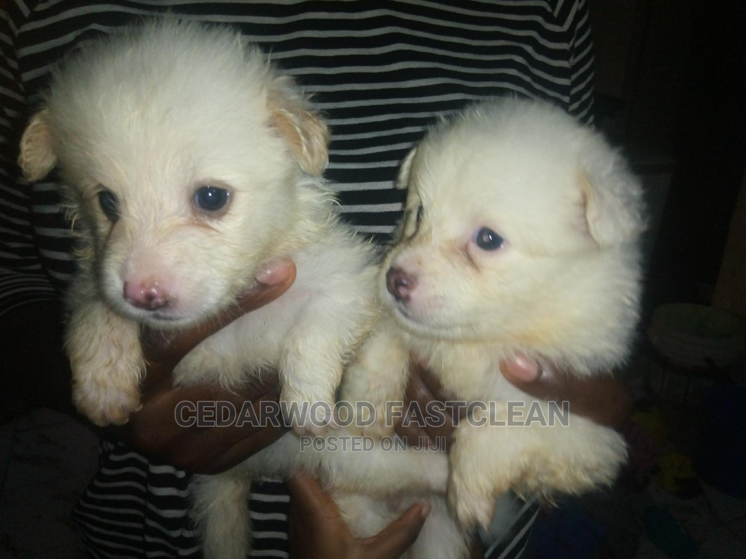 1-3 Month Male Purebred American Eskimo   Dogs & Puppies for sale in Gwagwalada, Abuja (FCT) State, Nigeria