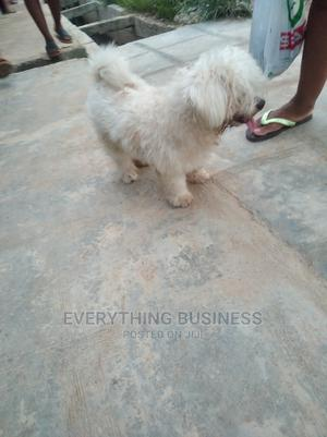 1+ Year Male Purebred Lhasa Apso   Dogs & Puppies for sale in Lagos State, Isolo