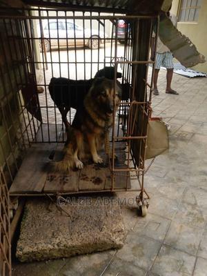 1+ Year Female Purebred Caucasian Shepherd | Dogs & Puppies for sale in Lagos State, Ikorodu