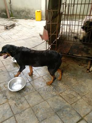 1+ Year Male Purebred Rottweiler   Dogs & Puppies for sale in Lagos State, Ikorodu