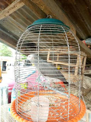 Parrots for Sale | Birds for sale in Abuja (FCT) State, Lugbe District