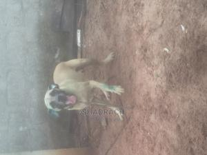 1+ Year Female Purebred Boerboel | Dogs & Puppies for sale in Edo State, Benin City