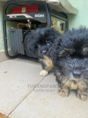 1-3 Month Male Purebred Lhasa Apso   Dogs & Puppies for sale in Ekiti State, Oye
