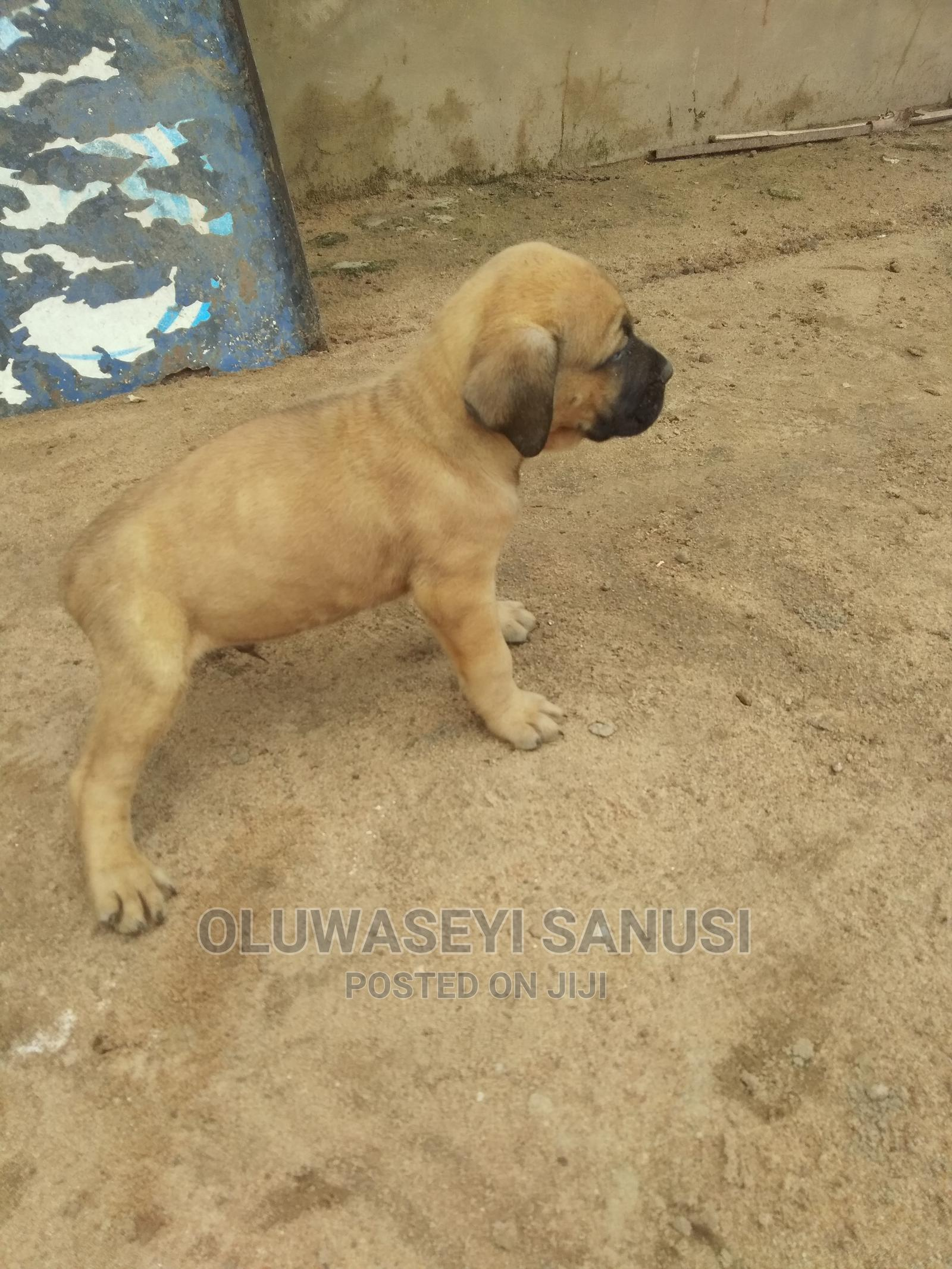 1-3 Month Male Purebred Boerboel | Dogs & Puppies for sale in Ibadan, Oyo State, Nigeria