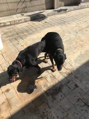 1+ Year Male Purebred Rottweiler | Dogs & Puppies for sale in Osun State, Ilesa