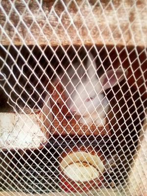Foreign Breed Rabbit For Sale | Livestock & Poultry for sale in Ogun State, Ijebu Ode