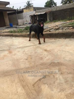 1+ Year Male Purebred Rottweiler | Dogs & Puppies for sale in Lagos State, Ikeja