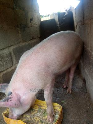 For Lovers of Pig   Other Animals for sale in Plateau State, Jos