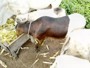 Rams Are For Sale | Livestock & Poultry for sale in Osun State, Iwo