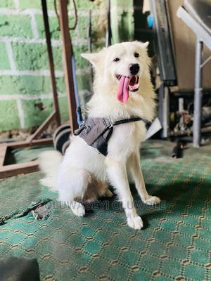 1-3 Month Male Purebred American Eskimo | Dogs & Puppies for sale in Ekiti State, Ado Ekiti
