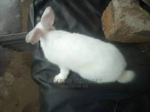 Healthy Rabbit for Sale   Other Animals for sale in Lagos State, Ifako-Ijaiye