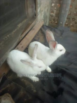 Clean White Healthy Rabbit   Livestock & Poultry for sale in Lagos State, Agege
