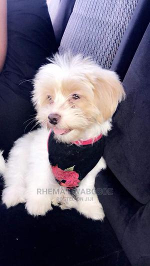 1+ Year Female Purebred Lhasa Apso | Dogs & Puppies for sale in Edo State, Benin City