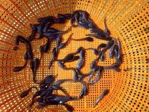Healthy and Fast Growing Fingerings   Fish for sale in Ogun State, Ijebu