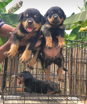 1-3 Month Female Purebred Rottweiler | Dogs & Puppies for sale in Cross River State, Calabar