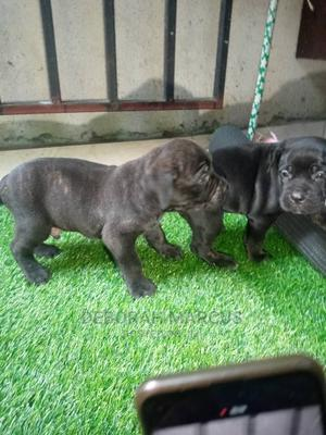 1-3 Month Female Purebred Cane Corso | Dogs & Puppies for sale in Cross River State, Calabar