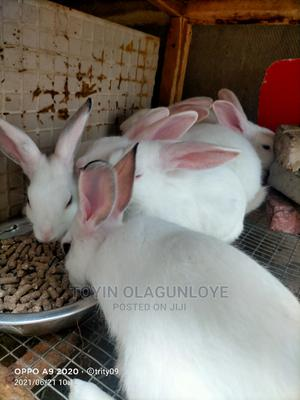 Hyla Rabbits for Sale | Other Animals for sale in Lagos State, Ikorodu