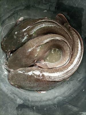 Catfish Hybrid Post Fingerlings | Fish for sale in Ogun State, Ijebu Ode