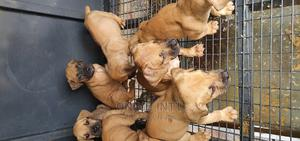 1-3 Month Male Purebred Boerboel | Dogs & Puppies for sale in Abuja (FCT) State, Jabi