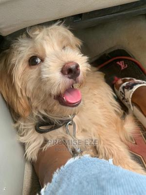 6-12 Month Male Purebred Lhasa Apso   Dogs & Puppies for sale in Enugu State, Enugu