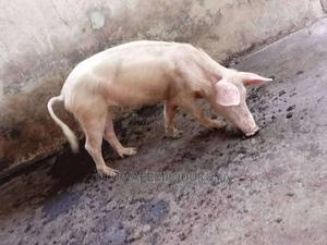 Large White Sow for Sale   Livestock & Poultry for sale in Ogun State, Abeokuta North