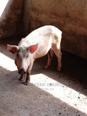 Sow for Sale   Livestock & Poultry for sale in Ogun State, Abeokuta North