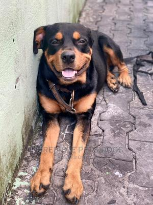 1+ Year Male Purebred Rottweiler   Dogs & Puppies for sale in Rivers State, Eleme