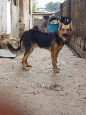 6-12 Month Male Purebred German Shepherd | Dogs & Puppies for sale in Oyo State, Ibadan