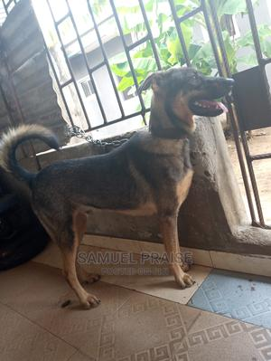 1+ year Male Mixed Breed German Shepherd | Dogs & Puppies for sale in Delta State, Ethiope East