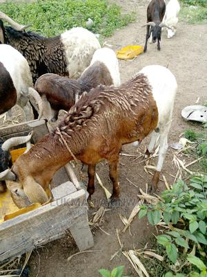 Rams for Ileya   Other Animals for sale in Osun State, Iwo
