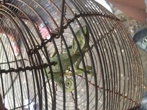 Chameleons Available   Reptiles for sale in Delta State, Ugheli