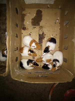 Beautiful Guinea Pigs for Sale | Other Animals for sale in Oyo State, Ibadan