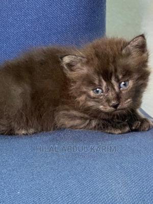 0-1 Month Male Purebred Persian | Cats & Kittens for sale in Lagos State, Surulere